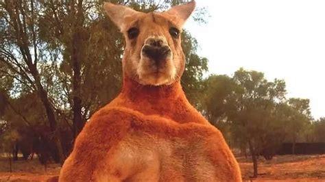 kangourou muscle  violent terrorise tout  village