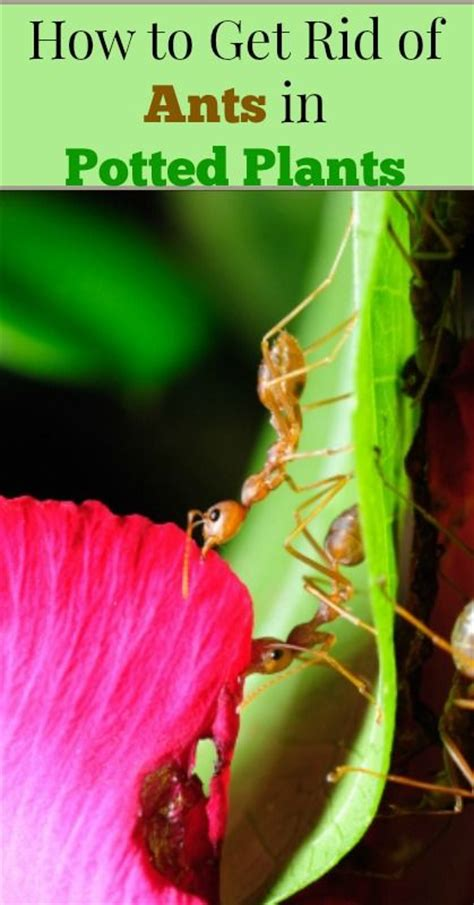 how to get rid of ants on patio plan how to get rid of ants in potted plants living