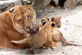 Liger Cubs Of the cute liger cubs   White Liger Cubs
