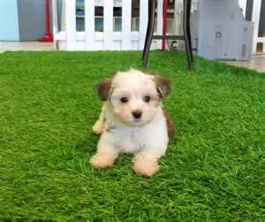 names of non shedding puppies breeds picture