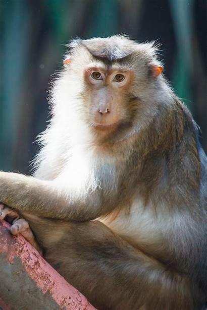 Monkey Monkeys Chinese Zodiac Animal Born Domain