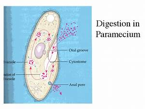Digestion In Paramecium