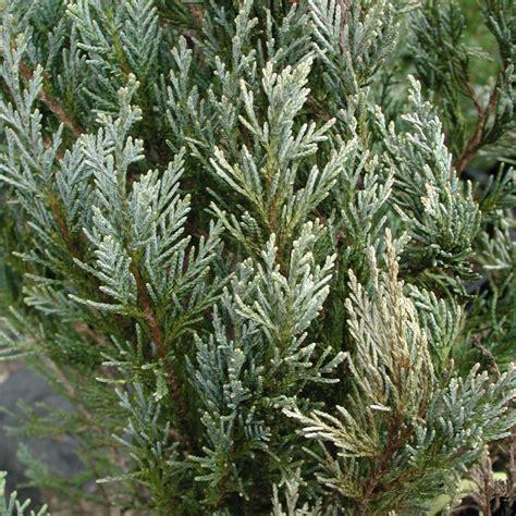 blue juniper juniperus scopulorum wichita blue