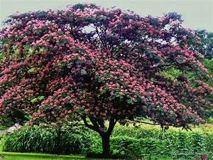 """Mimosa Tree"" by James Brotherton Redbubble"