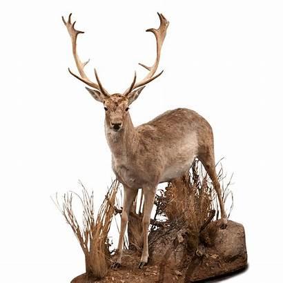 Deer Fallow Mount Fa101 Kanati Freeform Floor