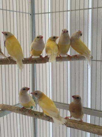 gouldian finches  sales  sale  richmond