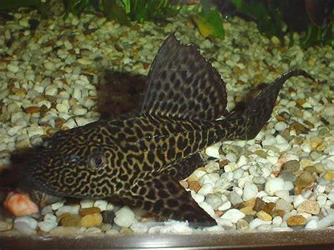 quizz les poissons d aquarium d eau douce quiz poissons aquariophilie