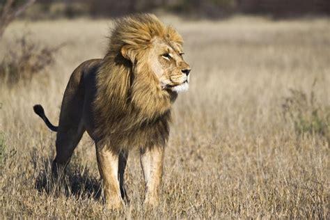 sor alasd alafryky  african lion