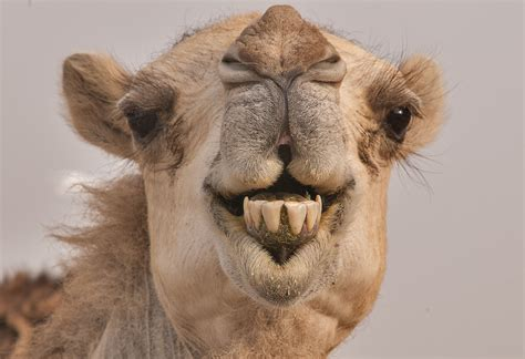 Camel Images Camel Wallpapers Images Photos Pictures Backgrounds