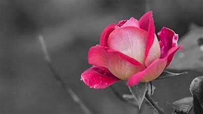 Pink Rose Roses Flower Pixelstalk