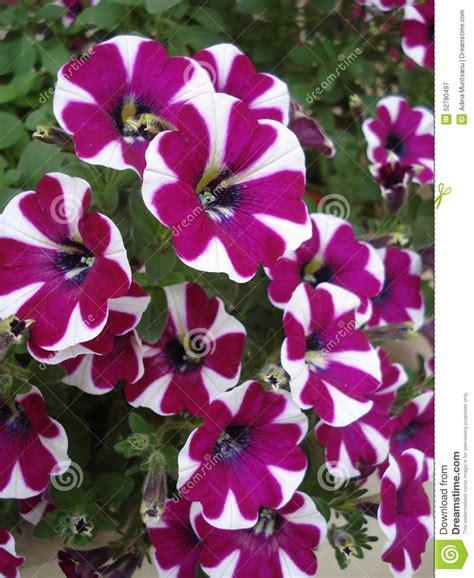 fiori da davanzale borgogna con le petunie bianche in vaso da fiori sul