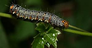 What Is An Eight-spotted Forester Caterpillar
