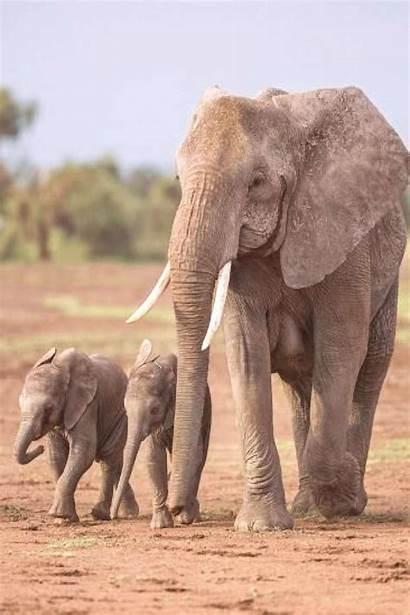 Elephant African Female Babies Amboseli National Park