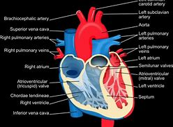 Hd wallpapers gcse heart diagram wallpaperscfmobilec hd wallpapers gcse heart diagram ccuart Gallery
