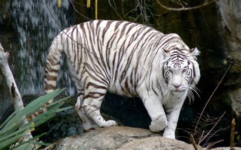 The Tiger There Known Mutation That Leads