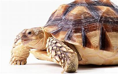 Turtles Turtle Animal Wallpapers Isolated Reptiles Lovely