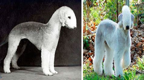 rarest dog breeds   world funnycom