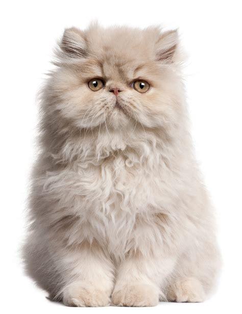 Cat Breeds 101 The Persian Greengatocom
