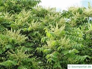 Baum Mit Weißen Blüten : baumbl te im juni baumportal ~ Michelbontemps.com Haus und Dekorationen