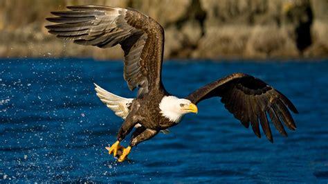 Water Animal Wallpaper - animals eagle birds water wallpapers hd desktop and
