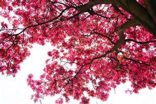 Cherry Blossom Trees Looking Up At