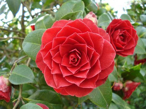 Camélias - Jardim e Online   Flores - Cultura Mix
