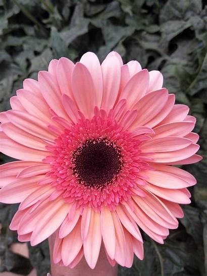 Flower Gerbera Farm