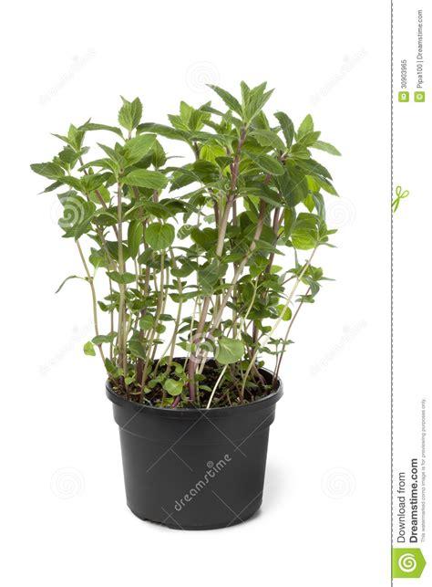 pot avec l usine de gingembre menthe photo libre de droits image 30903965