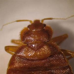 expert weighs in on ohios bed bug epidemic public news With bed bug epidemic
