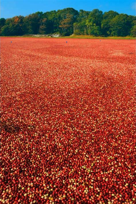18 Best Cranberry Bogs Images On Pinterest Cranberries