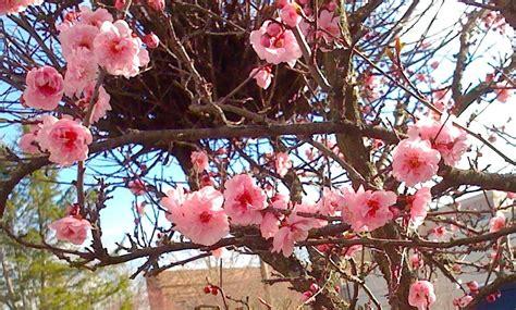 ornamental cherry tree varieties ornamental cherry tree something pacific