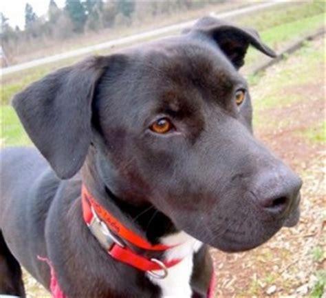 labrador retriever american pit bull terrier mix allmuttcom