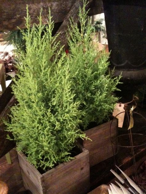 potted live christmas trees in san diego best 25 cypress trees ideas on trees beautiful trees and big tree
