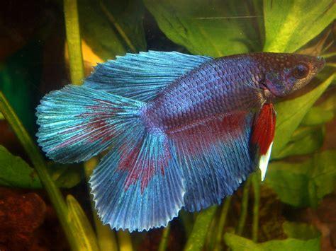 beta fish top shelf bettas pet world and the aqua shoppe