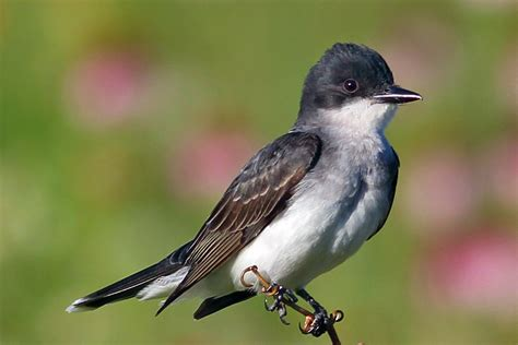 black and white flycatcher