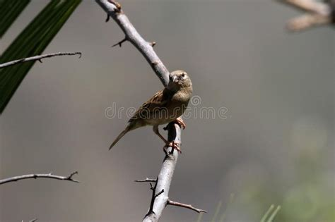asian russet sparrow stock photo image  indian bill