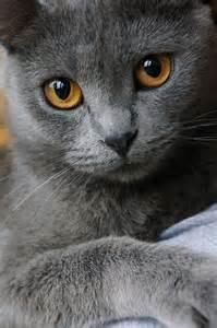 gray cats grey cat s meow