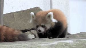 Lessa Being Awkward Red Panda GIF - Find & Share on GIPHY