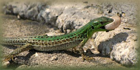 italian wall lizards survive   york