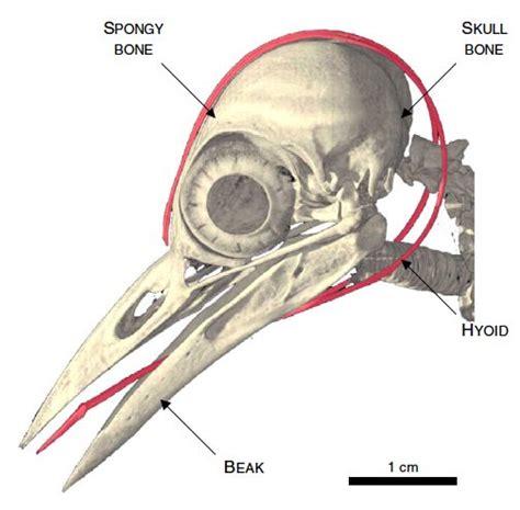 woodpecker s tongue pics