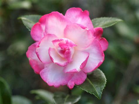 camellia flower camellia flowers flowers