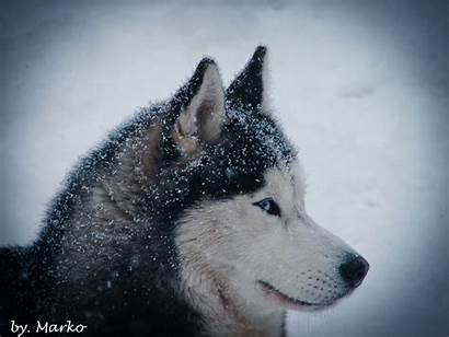 Husky Winter Siberian Huskies Nature Wallpapers Desktop