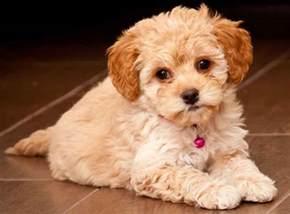 maltipoo designer breed maltese poodle hybrid cutest designer