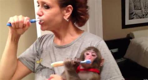 Monkey In Ikea Videos: Darwin Brushes His Teeth, Hangs Out ...