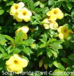yellow flower vines pictures allamanda vine