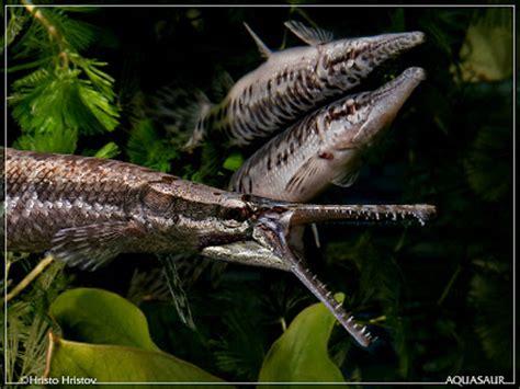 fish index spotted gar lepisosteus oculatus