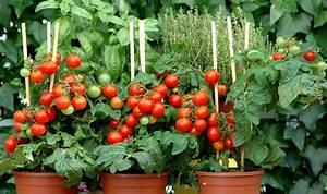 Plant Tomate Cerise : tomate cerise planter et cultiver ooreka ~ Melissatoandfro.com Idées de Décoration