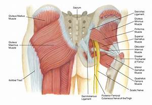 The Buttocks  Your Strongest Muscles