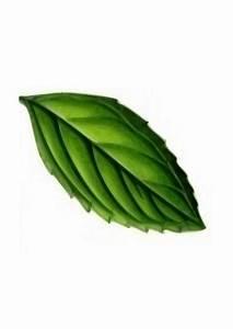 Clipart - Mint Leaf