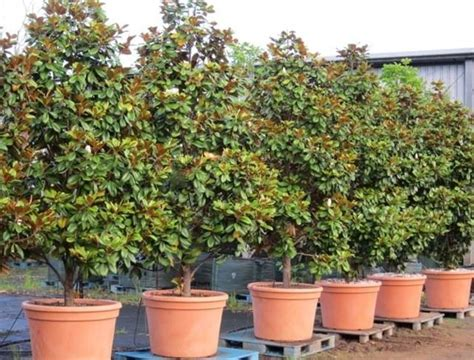 magnolia in vaso albero di magnolia alberi latifolie scopri l albero di